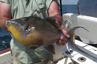 Amelia Island Offshore Fishing Trigger Fish